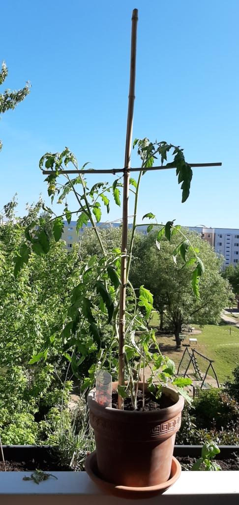 Selbstgebaute Halte- und Stützkonstruktion für unsere Tomatenpflanze auf dem Balkon.