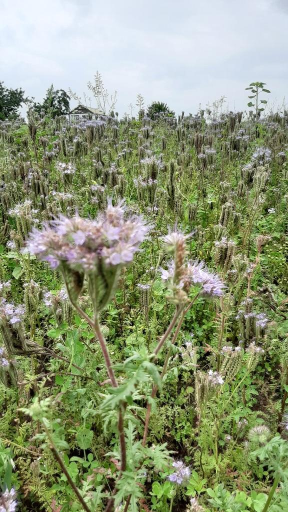Feld mit Phaceliapflanzen